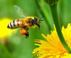 Perché muoiono le api: una nuova scoperta scientifica